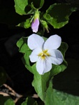 Western Canada Violet (Viola canadensis var. rugulosa)